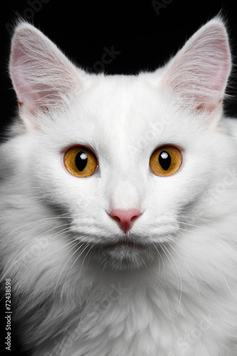 Fotografie, Obraz  close-up Pure white cat on the black background
