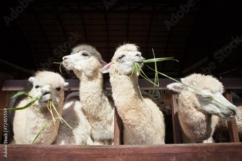 Poster Lama llama alpacas eating ruzi grass in mouth rural ranch farm