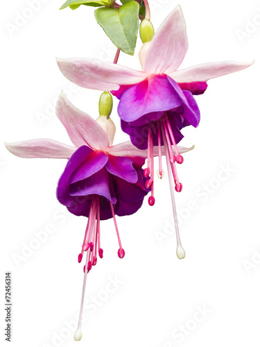 Fuchsia flower Wallpaper Mural