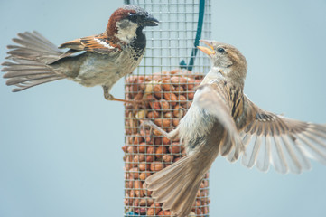 little birds fighting over bird seed feeder
