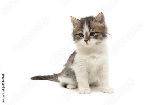 Fotografie, Obraz  Trochu načechraný kotě sedí na bílém pozadí close-up