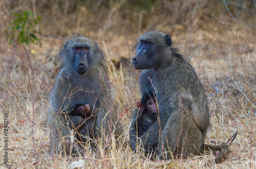 Photo  Two Baboons with Infants