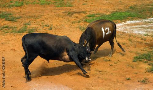 Foto op Canvas Stierenvechten bullfight