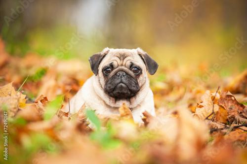 Cuadros en Lienzo Beige pug dog lying on the leaves in autumn