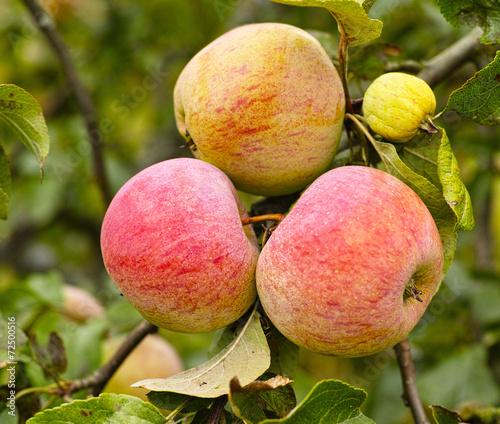 Fotografia  trio of apples on the bunch