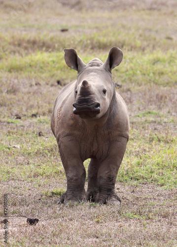 Poster Rhino Nashornbaby