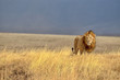 Lonely Lion