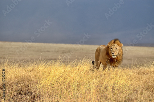 Photo Stands Africa Lonely Lion