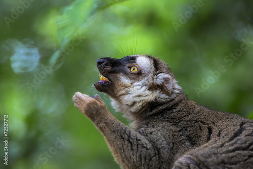 Lemur portrait Plakát