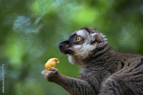 Vászonkép  Lemur portrait
