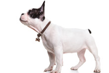 Side View Of A Standing French Bulldog Puppy Looking Up