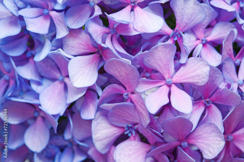 Fotografie, Tablou lilac-blue hydrangea background