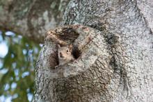 Eastern Gray Squirrel Peeking ...