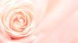 Leinwandbild Motiv Banner with pink rose