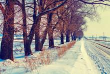 Trees Along Winter Snowy Road