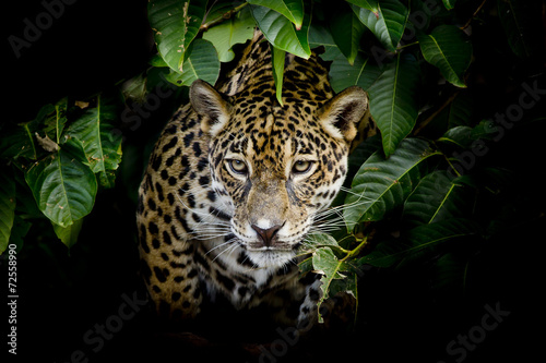 Foto op Canvas Panter Jaguar portrait