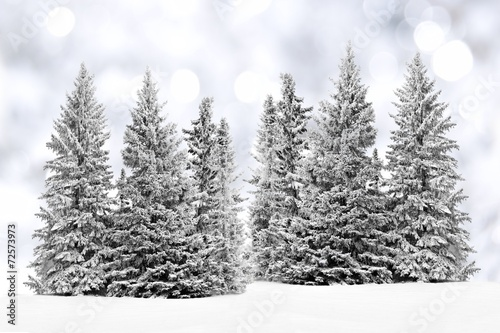 Group of frost covered trees in snow with silver - Images of pine trees in snow ...
