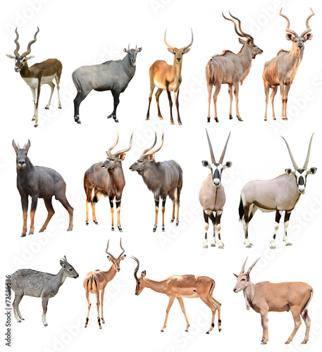 Wall Murals Antelope male antilope isolated