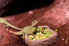 Lizard Eating Vegetables