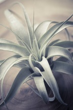 Tillandsia Xerographica, Air R...