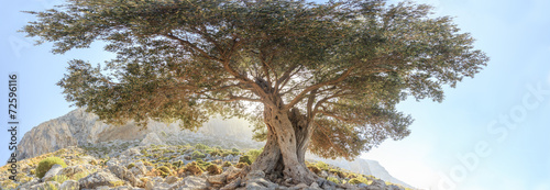 Fotoposter Olijfboom Centuries old branchy olive tree panoramic view