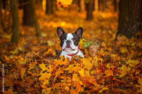 Poster Bouledogue français Portrait of french bulldog in autumnal scenery