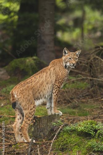 Foto auf Leinwand Luchs European Lynx
