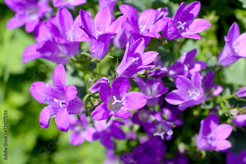 Photo bellflower, Campanula portenschlagiana