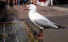 Closeup Of Thirsty Seagull Dri...