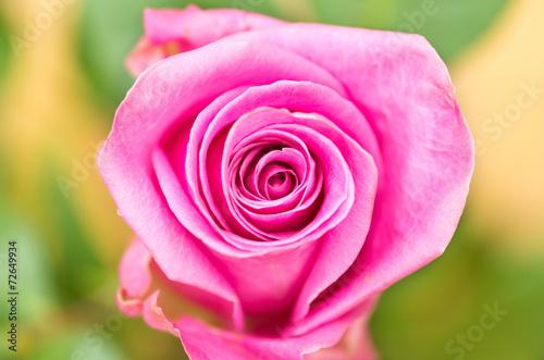 Photo sur Aluminium Macro Beautiful pink single ecuadorian rose