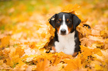 Tricolor Appenzeller Mountain Dog Lying On Maple Leaves