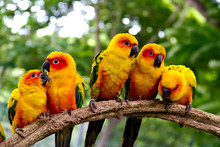 Group Of  Conures Parrots Are ...