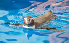 Little Penguin Swimming In Blu...