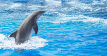 Dolphin Jumping In Clear Blue Sea. Place For Text.
