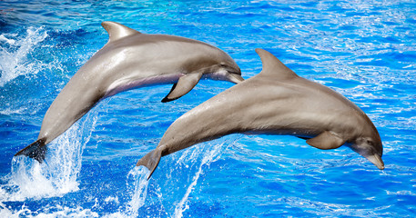 Fototapeta Two dolphins jumping in clear blue sea.