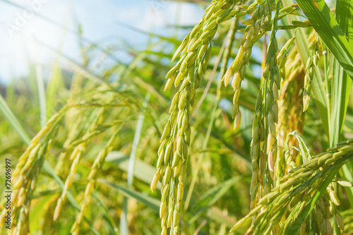 Foto auf Gartenposter Landschappen rice field