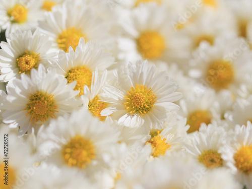 Fotografie, Obraz 菊の花束