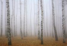 Deeply Mist In Autumn Birch Forest