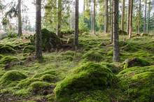 Bright And Mossy Coniferous Fo...