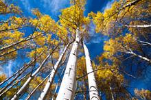 Look Up Aspen Trees