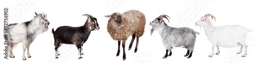 Carta da parati Group of goats on the white