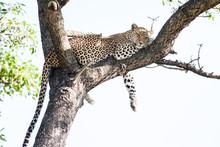 A Large Wild Leopard Resting I...