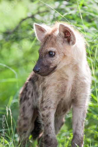 Papiers peints Hyène A wild baby Spotted Hyena standing next to its den