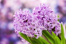 Blooming Hyacinth Flowers (hyacinthus)