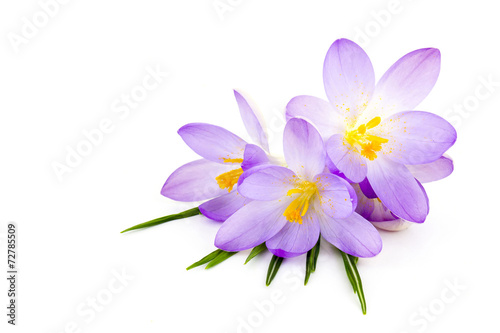 Photo sur Toile Crocus crocus on white background - fresh spring flowers