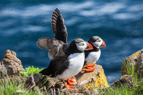 Papel de parede Pair of  puffins on a rock, Iceland