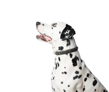 Young Dalmatian Dog In Leather Collar On White Background.