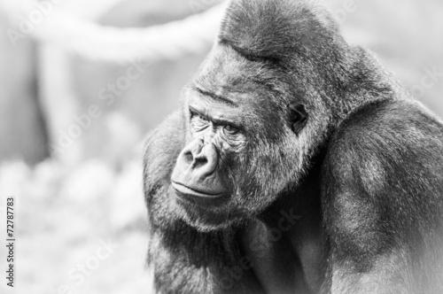 Black and White Portrait of Gorilla Wallpaper Mural