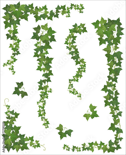 Fotografia  Set of Hanging branches of ivy on a white background
