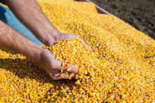 Farmer's Hands Showing Freshly Harvested Corn Grains